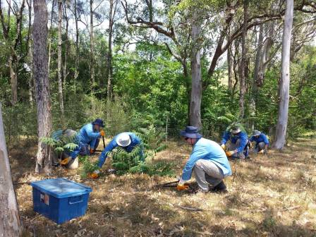 Contractors Blue Tongue Ecosystem Services treating Tree of Heaven at Wallaroo